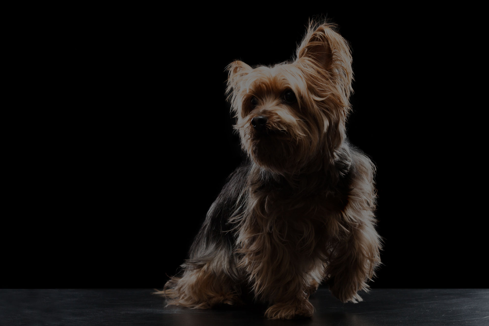 Cute Brown Yorkie Silky Mutt Playing - Image