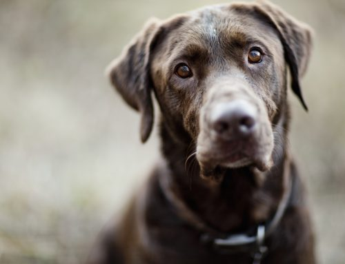 Emergency Care for Pets: The Case of Coco, the Chocolate-Loving Labrador
