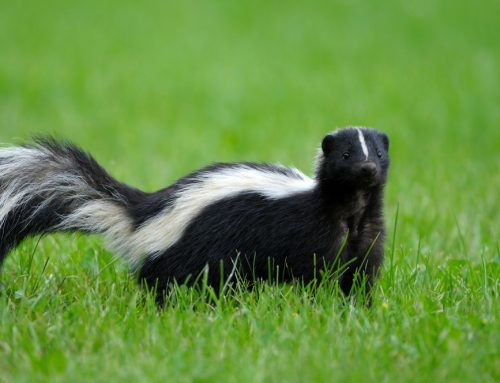 My Pet Was Sprayed By A Skunk—What Do I Do?
